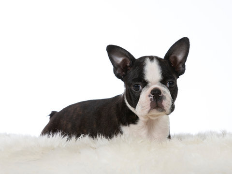 Boston terrier puppy dog portrait. Image taken in a studio with white background. Puppy is 8 weeks old.