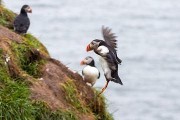The Atlantic puffin (Fratercula arctica), the common puffin in Borgarfjörður a fjord in the west of Iceland near the town of Borgarnes