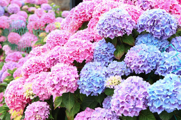 Spoed Fotobehang Hydrangea A top view of a smooth hydrangea or wild hortensia blue and violet flowers.