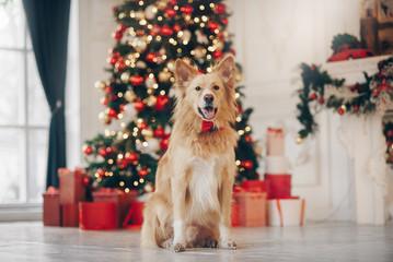 Yellow dog sitting on the christmas background