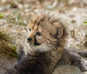 close up of a cheetah cub in a zoo