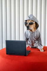 Dog as hacker next to notebook with sunglasses and jacket with hood. concept of programmer, hacker and cyber security.