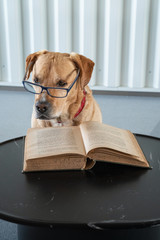 Dog reading book with eyeglasses. Professor behind the book
