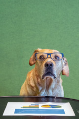 Dog with exeglasses and feared expression above paper with graphs. Office concept.