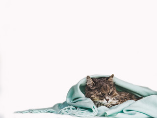 Young, charming kitty, wrapped up in a scarf. Close-up, isolated background. Studio photo. Studio photo. Concept of care, education, obedience training and raising of pets