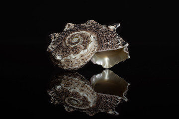 One whole dark grey mollusc shell isolated on black glass
