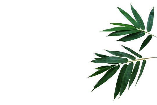 Dark green leaves of bamboo ornamental forest garden plant isolated on white background, clipping path included.