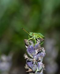 odorek zieleniak larwa (Palomea prasina) tarczówkowate