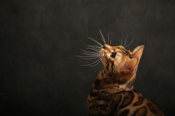 Bengal cat lying on the shelf Wall mural