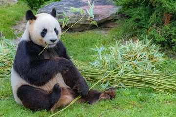 Spoed Fotobehang Panda Giant panda, bear panda eating bamboo sitting in the grass