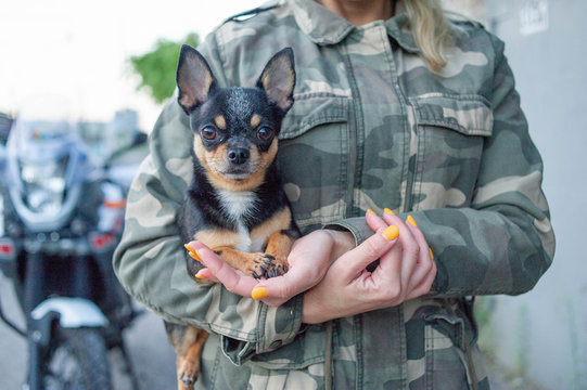small dog chihuahua in the girl's hands. Chihuahua dog in the arms of his mistress on the background of military jackets
