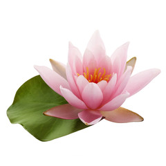 Fotorollo Lotosblume Pink lotus flower or water lily with green leaf isolated on white background