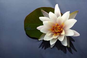 Foto op Plexiglas Lotusbloem Beautiful white lotus or water lily flowers blooming on pond