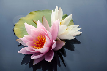 Wall Murals Water lilies Pink and white lotus blossoms or water lily flowers blooming on pond