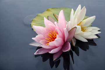 Fotobehang Waterlelies Pink and white lotus blossoms or water lily flowers blooming on pond