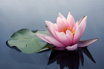 Spoed Fotobehang Waterlelies Beautiful pink lotus or water lily flowers blooming on pond