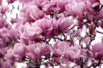 Beautiful blooming pink magnolia branch. Floral blurred background. Close-up, soft selective focus