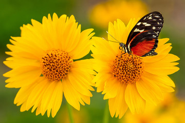 Monarch Butterfly on Yellow Sunflower Closeup. Nectar for Monarchs Fototapete