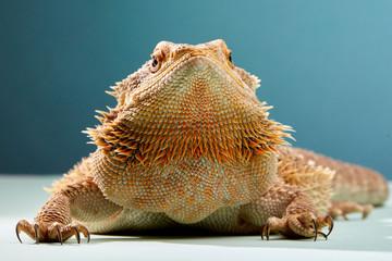 Portrait of Bearded Dragon