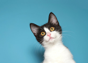 Portrait of a white and black kitten with yellow eyes looking intently at viewer. Blue background.