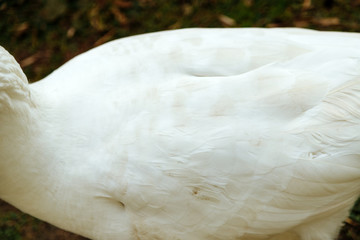 Close-up of the side of a white goose