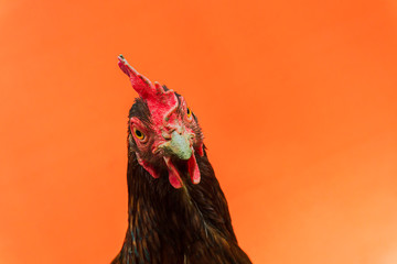 closeup the face of a teardrop hen on an orange background,copy space.