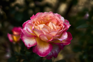 Beautiful rose with multicolored petals