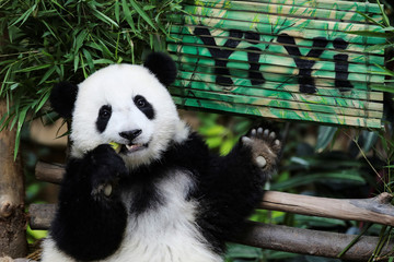Nineteen-month-old female panda cub Yi Yi, born to parents Liang Liang and Xing Xing on loan from China, eats during her naming ceremony at the National Zoo in Kuala Lumpur