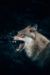 Poster Wolf Vertical closeup shot of a wild wolf growling or roaring in Teutoburg Forest, Germany