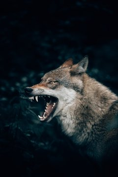 Vertical closeup shot of a wild wolf growling or roaring in Teutoburg Forest, Germany