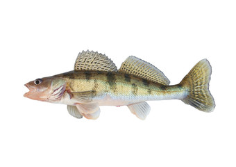 Pikeperch isolated on white background