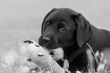 Cute portrait of an 8 week old black Labrador puppy playing with a cuddly toy