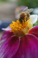 honey bee on a flower macro image