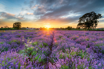 Fototapete - Sunset over beautiful fields of lavender