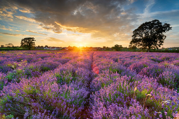 Wall Mural - Stunning sunset over fields of Lavender in Somerset