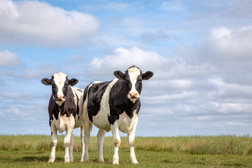 Printed roller blinds Cow Two black and white cows, friesian holstein, standing in a pasture under a blue cloudy sky and a faraway straight horizon at Schiermonnikoog.