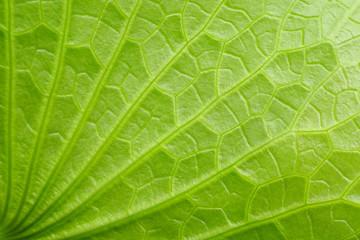 Wall Mural - green lotus leaf texture