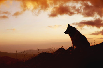 Silhouette of the dog sitting over the hills. Portrait of Border Collie.