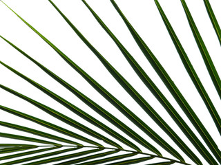 Wall Mural - green coconut leaf with water drop on white background