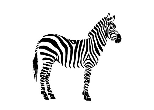 Graphical zebra staying isolated on white background,vector illustration,sketch