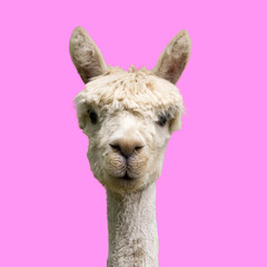 Photo sur Aluminium Lama Alpaca on pink background
