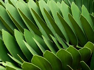 Wall Mural - green palm leaf (Zamia furfuracea L.f.) ,cardboard palm