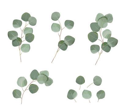 silver dollar eucaliptus leaves set. natural branches, greenery vector illustration