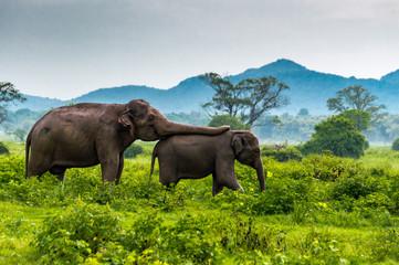 Foto op Aluminium Olifant Elephants, Minneriya National Park, Sri Lanka.