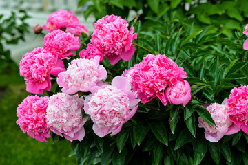 Blooming garden peonies closely. Large floral bush with romantic pink peonies. Lovely photo for nature calendars, prints, posters, design, interior decoration, greetings cards