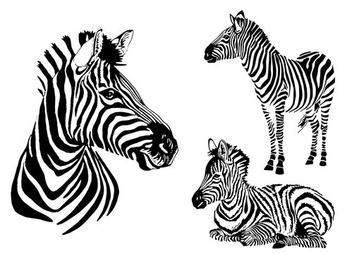 Graphical collection of zebras, white background, vector tattoo illustration,eps10