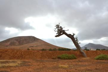 Desert Landscape with Reddish Soil and a Dead Tree in Fuerteventura