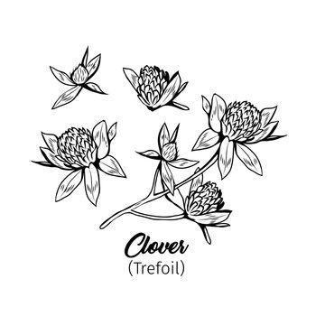 Clover blossom black ink sketches set. Wildflower twig, flowers and buds black and white illustrations collection. Honey plant monochrome botanical engraving with title. Floral postcard design element