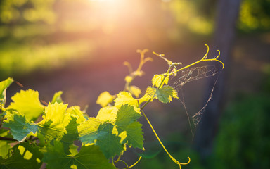 Young vine in the vineyard, grape leaves and vines at sunset Wall mural