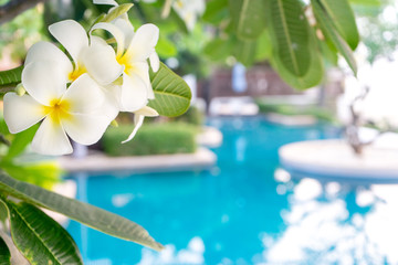 Keuken foto achterwand Frangipani Plumerias flower on the tree, background be swimming pool